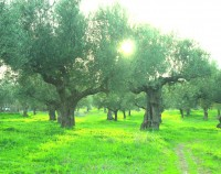 Mother Earths Greek Olive Trees